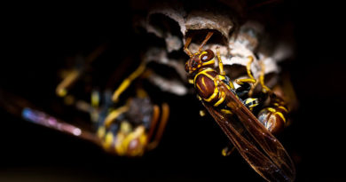 A cure with a sting: Wasps turned loose against emerald ash borer