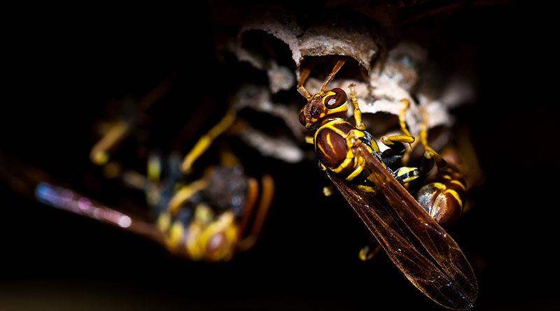 Stock Photo Wasps