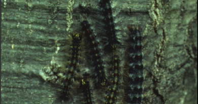Gypsy moth caterpillar still eating forests after all these years