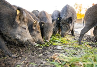 Owners of Trillium Meadows ask for public's help to fight MNRF proposals to ban farming of wild pigs